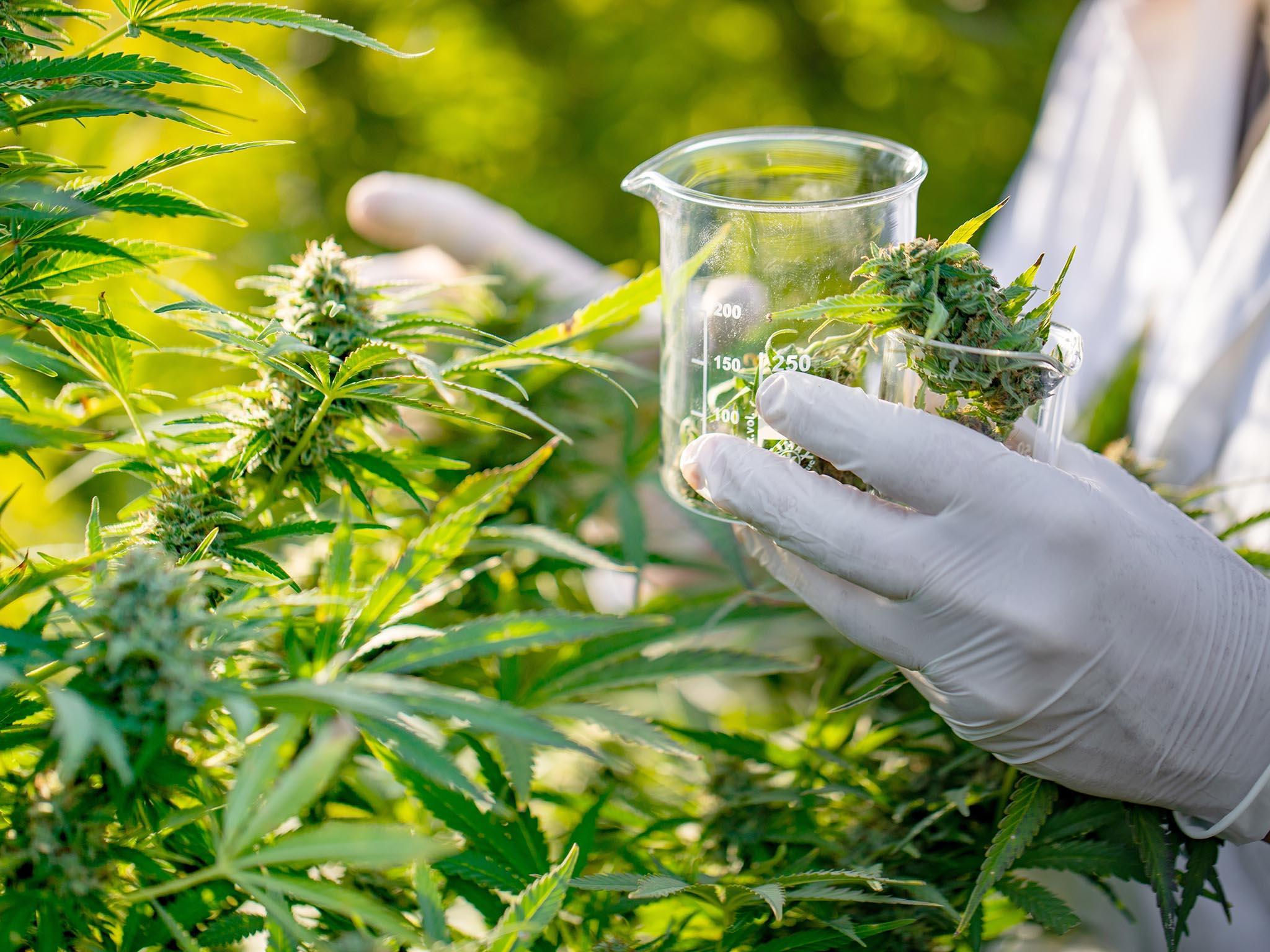 Curso virtual o presencial de Cultivo Agroecológico y obtención de derivados para usos Medicinales e Industriales del Cannabis